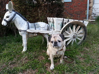 Rose with the neighbor's lawn donkey