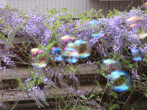 藤の花 2014/4/13