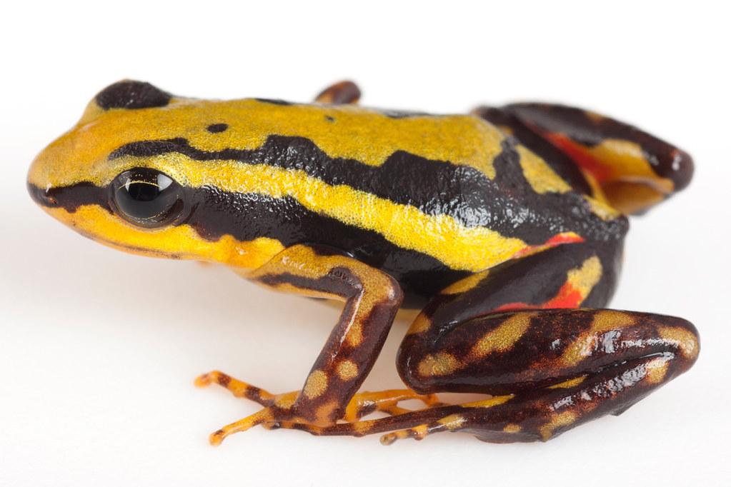 <i>Epipedobates tricolor</i> Rana venenosa tricolor