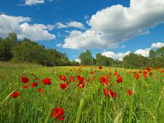 Mohnblumen-poppies