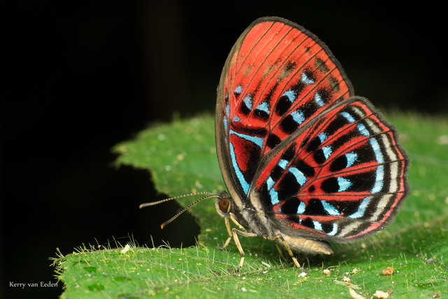 Red Harlequin Butterfly (Paralaxita damajanti)