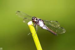 Dragonfly TK9A9832