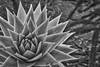 Prickly sImian mental stimulation - Kew