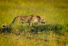 Stalking Leopard ReEdit