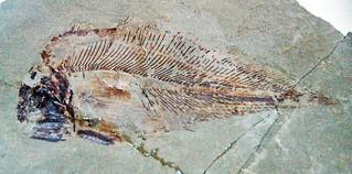 Allenypterus montanus (fossil coelacanth fish) (Bear Gulch Limestone, Upper Mississippian; Fergus County, Montana, USA) 1