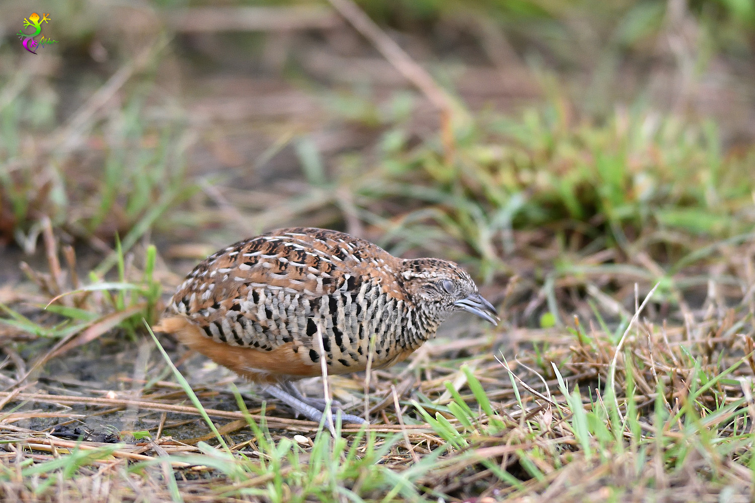 Barred_Buttonquail_9376
