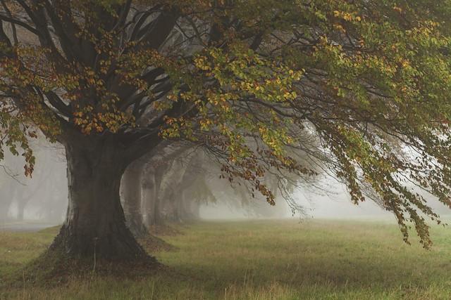 Autumn and Beech Treesin  the Mist