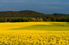 Rape seed field II