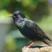 Starling by Ian Dyer