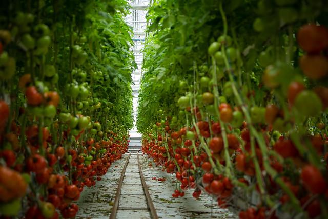 Laval Greenhouse, Lufa Farms. Serres de Laval, Les Fermes Lufa