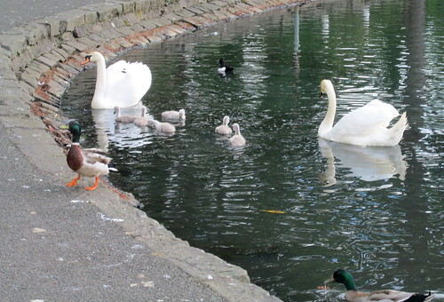 Swans and Cygnets Again