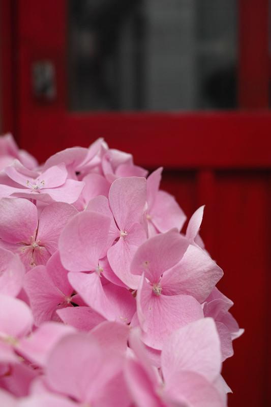 Hydrangea / 紫陽花
