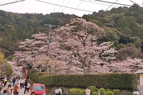 【写真】2013 桜 : 哲学の道/2018-12-24/IMGP9187