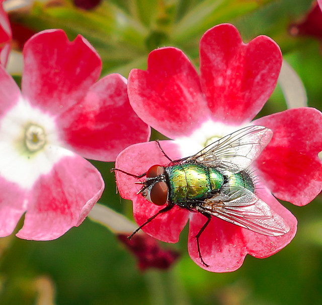 Green-Bottle fly