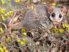 animal, possum, flower, branch, mouse, mammal, fauna, wildlife,