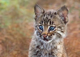 Bobcat kitten in the swamp