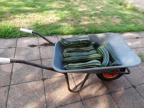 Zucchiniernte auf Schubkarre