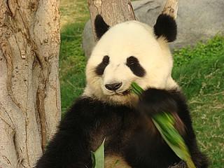 128 Reuze panda zit te eten