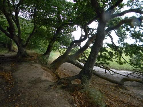 Gnarled trees
