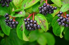 blackberry(0.0), shrub(0.0), flower(0.0), huckleberry(0.0), chokecherry(0.0), schisandra(0.0), bilberry(0.0), elderberry(0.0), dewberry(0.0), berry(1.0), branch(1.0), leaf(1.0), macro photography(1.0), flora(1.0), produce(1.0), chokeberry(1.0), fruit(1.0), food(1.0),