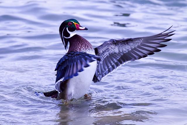 Wood Duck 8