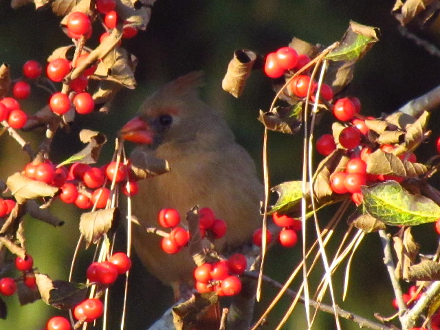 Cardinal on winterberry1 11:20:13