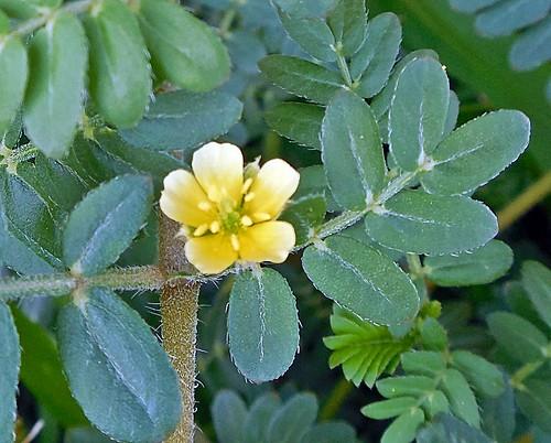 detalle de flor de abrojo blanco