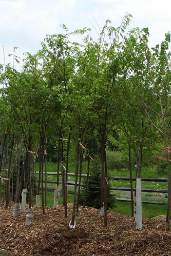 Image of Trees in Nursery