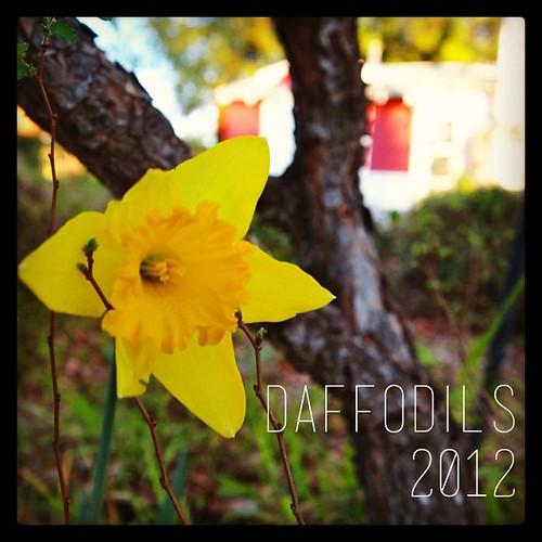 Daffodils 2012