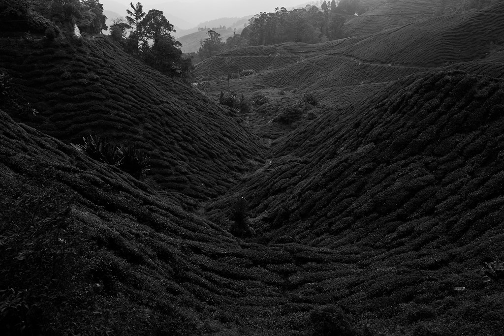 Black and white picture of tea plantation