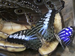 Tropical Blue Wave & Mexican Bluewing at Butterfly Rainforest