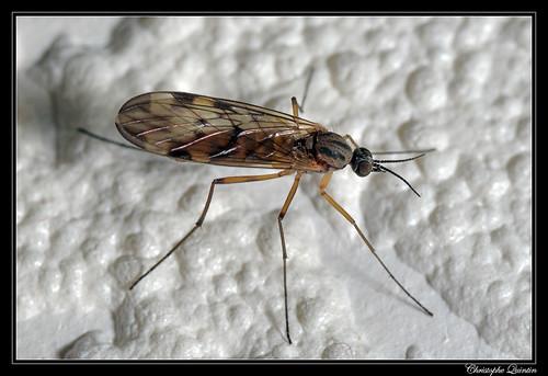 Sylvicola sp. (Sylvicola zetterstedti ?)