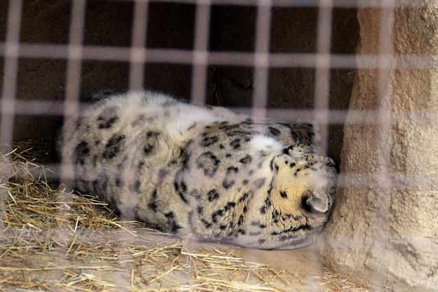 Snow Leopard Nap