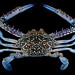 Flower crab (Portunus pelagicus) by Arthur Anker