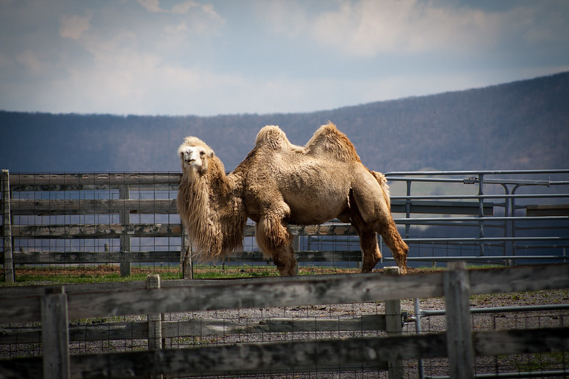 camelseleven