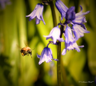 Bee And Bluebells**