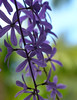 Queen's Wreath (petrea volubilis)