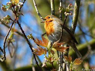 Spring Song Of The Robin