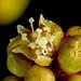 Small photo of Spreading Wattle (Acacia genistifolia)