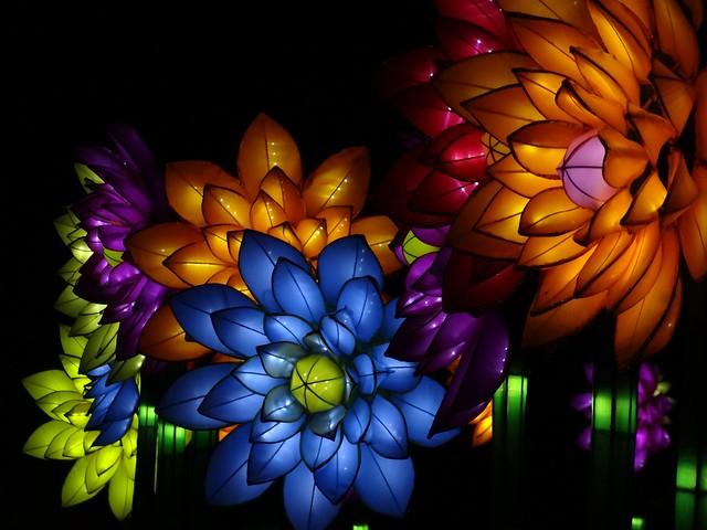 Large Chinese Chrysanthemums, Sony DSC-HX10V