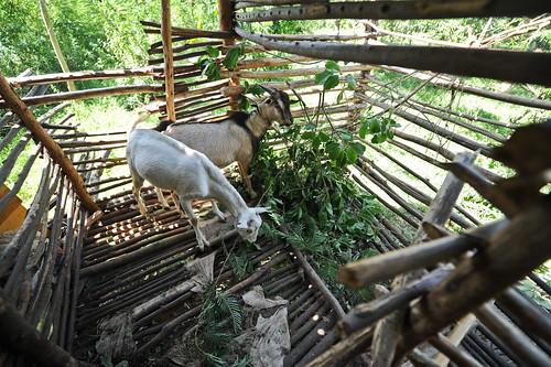 Goats   ILRI news