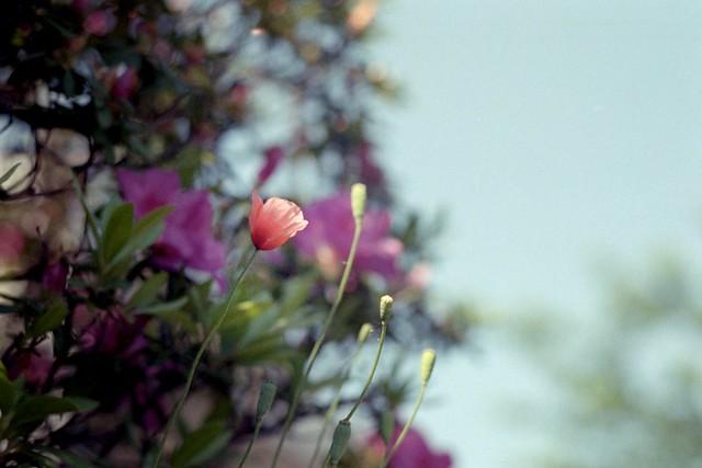 May Dayは花の女神の祝祭日であったとか