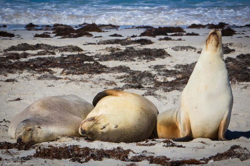 seals in South Australia