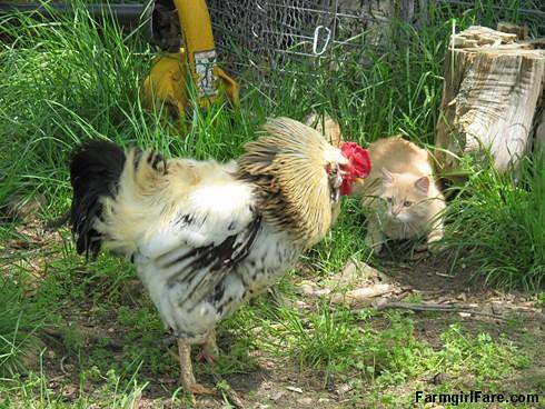Jasper meets Rooster Andy (5) - FarmgirlFare.com