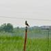 Western Meadowlark by neas