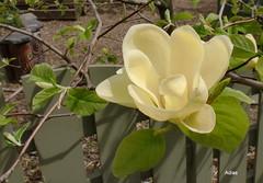 flower, magnolia, yellow, plant, flora, gardenia,