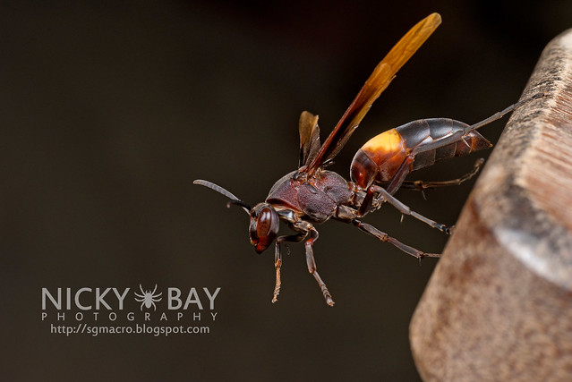 Paper Wasp (Polistes sagittarius) - DSC_7420