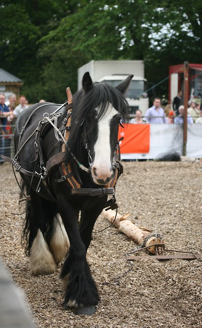 'Sally' - Logging horse