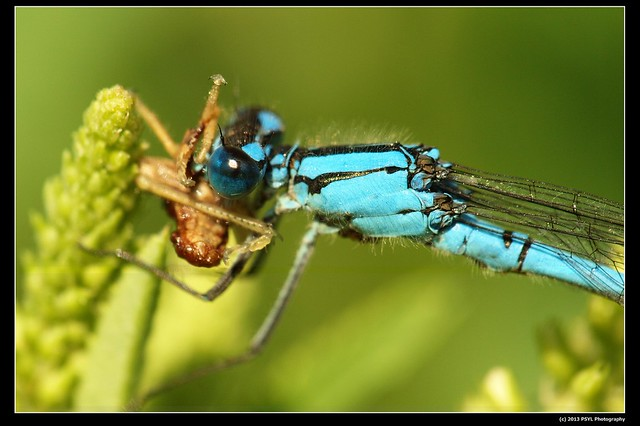 Bluet damselfly feasting on grasshopper