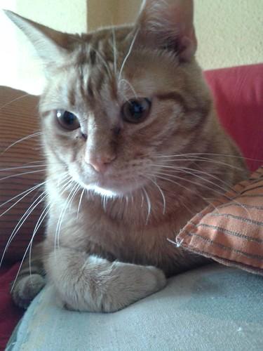 Nermal / Leo (adoptado LV), el pelirrojo mimosón. 9240811579_a52f6df8cd